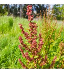 Štiav kyslý - Rumex acetosa - semená - 25 ks