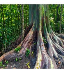 Eukalyptus dúhový - Eucalyptus deglupta - semená eukalyptu - 5 ks
