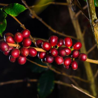 Kávovník havajský Konna - Coffea konna - semená kávovníka - 5 ks