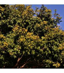 Mydlovník pravý - Sapindus saponaria - semená mydlovníka - 3 ks