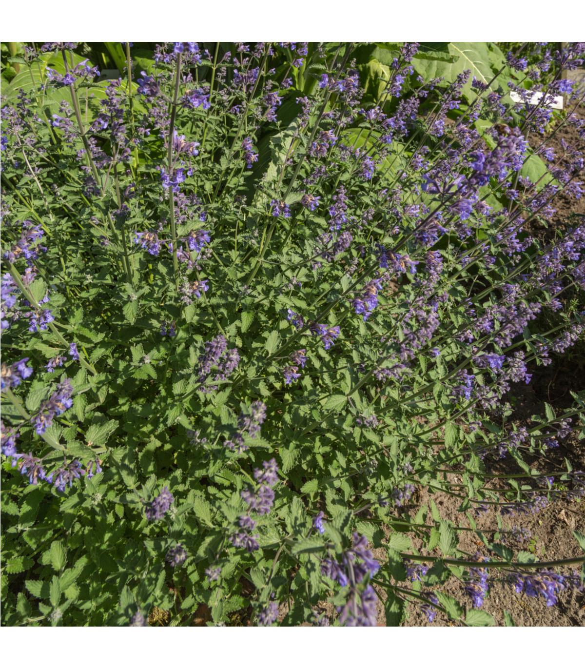 Kocúrnik obyčajný - Nepeta cataria - semená kocúrnika - 15 ks