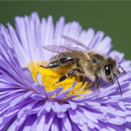 Medonosné kvety pre včely - semená medonosných kvetov pre včely - 10 g