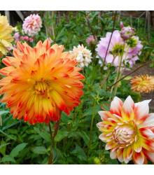 Georgína premenlivá Unwin zmes farieb - Dahlia variabilis - semená - 65 ks