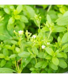 Stévia sladká - Stevia rebaudiana - semená stévie - 15 ks