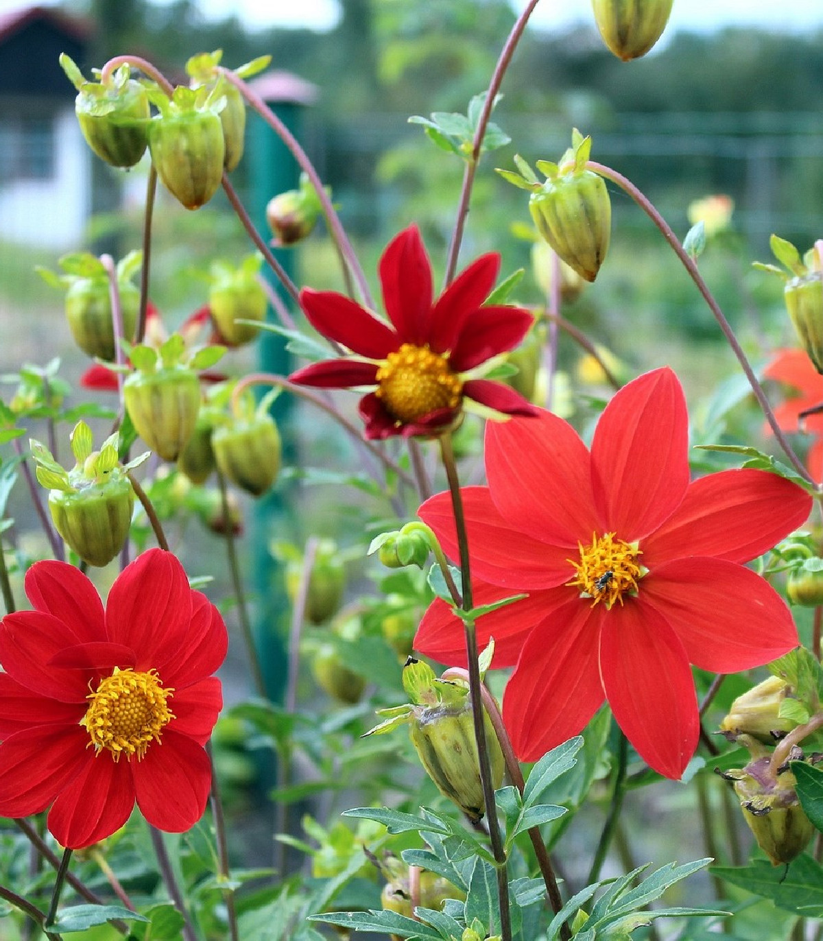 Georgína premenlivá Mignon zmes farieb - Dahlia variabilis - semená - 20 ks