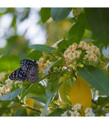 Ampak jaseňolistý - Evodia fraxinifolia - semená - 7 ks