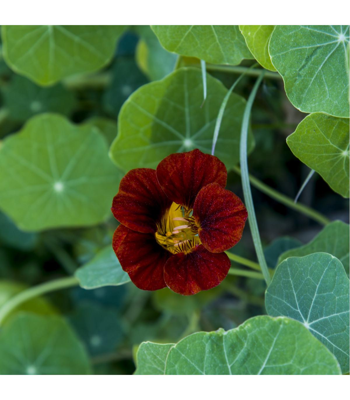 Kapucínka červeno-čierna Black Velvet - Alaska - Tropaeolum Nanum - semená - 15 ks