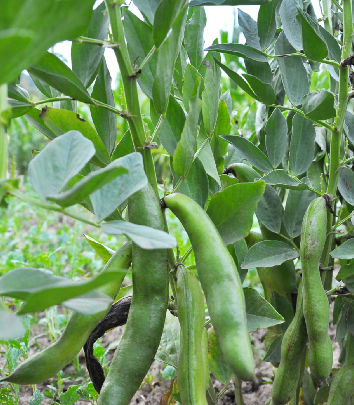 Bôb Hangdown - Vicia faba - semená - 12 ks