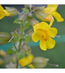 Čarodejka žltá - Mimulus luteus - semená - 200 ks