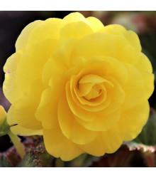 Begónia plnokvetá žltá - Begonia Pendula maxima - cibuľky begónie - 2 ks