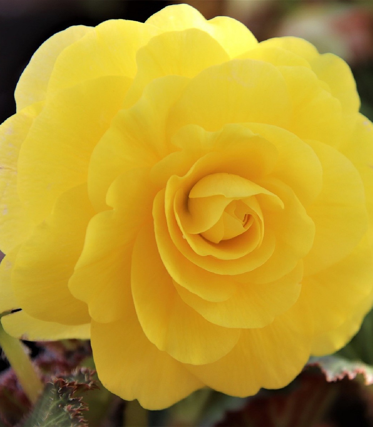 Begónia žltá - Begonia Pendula maxima - cibuľky begónie - 2 ks