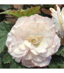 Begónia biela - Begonia Pendula maxima - cibuľky begónie - 2 ks