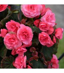 Begónia ružová - Begonia Pendula maxima - cibuľky begónie - 2 ks