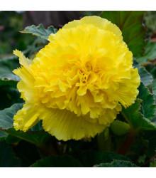 Begónia strapkatá žltá - Begonia fimbriata - cibuľoviny - 2 ks