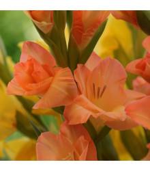 Mečík oranžový veľkokvetý Peter Pears - Gladiolus - gladioly - cibuľoviny - 3 ks