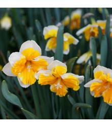 Narcis Orangery - Narcissus - cibuľoviny - 3 ks