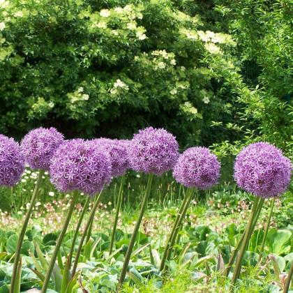 Okrasný cesnak Globemaster - Allium - cibuľoviny - 1 ks