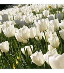 Tulipán Clearwater - Tulipa - cibuľoviny - 3 ks