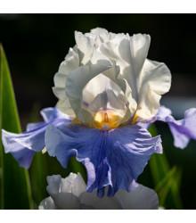 Kosatec Arpege - Iris germanica - cibuľoviny - 1 ks