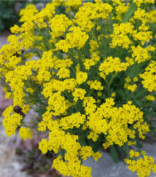 Tarica - Alyssum saxatile - semená Tarice - semiačka - 1.000 ks