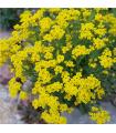 Tarica skalná - Alyssum saxatile - semená - 1000 ks
