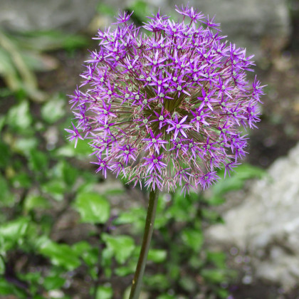 Okrasný cesnak Christophii - Allium Christophii - cibuľoviny - 2 ks