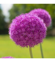 Okrasný cesnak obrovský Giganteum - Allium Giganteum - cibuľoviny - 1 ks