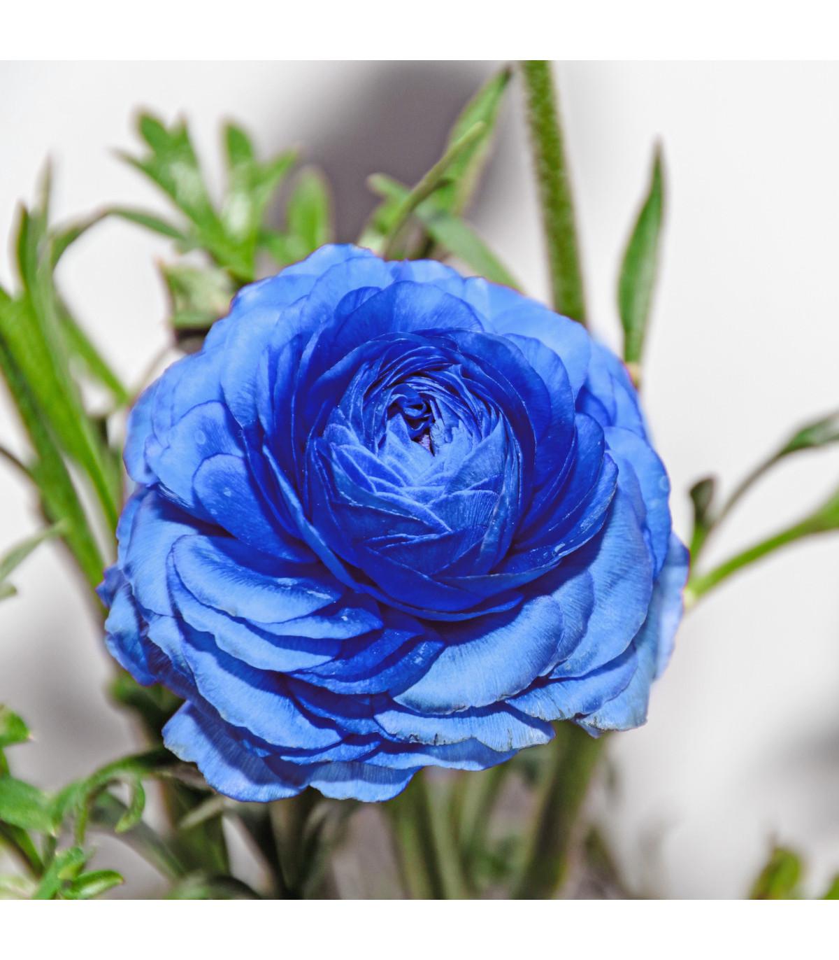 Iskerník plnokvetý modrý - Ranunculus Asiaticus - cibuľoviny - 3 ks