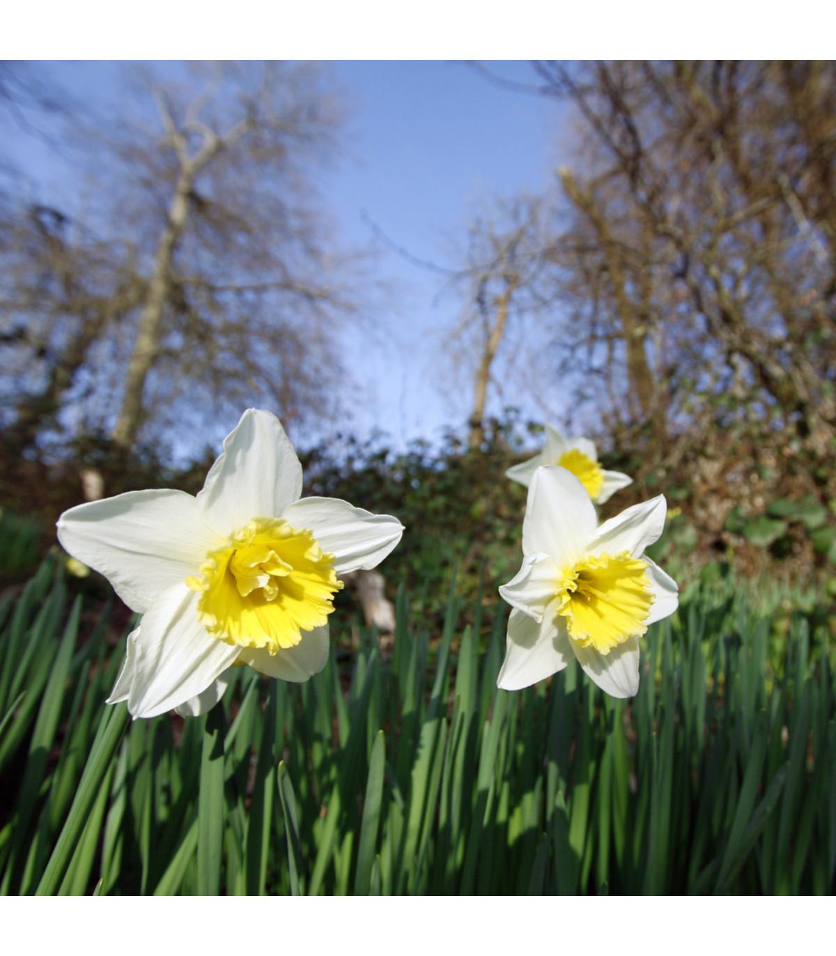 Narcis Pueblo - Narcissus - cibuľoviny - 3 ks