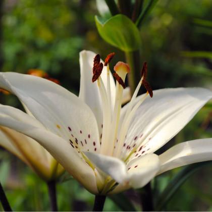 Ľalia biela - White tiger - Lilium - cibuľoviny - 1 ks