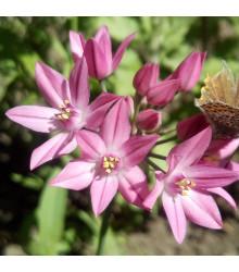Okrasný cesnak vysokohorský - Allium oreophillum - cibuľoviny - 3 ks