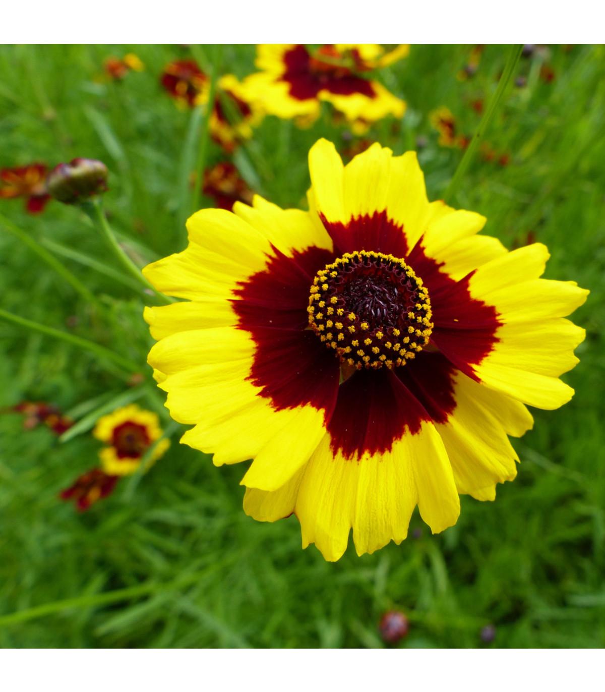 Krásnoočko dvojfarebné vysoké - Coreopsis tinctoria - semená - 50 ks