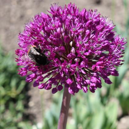 Okrasný cesnak - Allium aflatunense - cibuľoviny - 3 ks