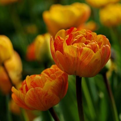 Tulipán Sunlover - Tulipa - cibuľoviny - 3 ks