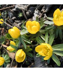 Tavolín - Eranthis cilicica - cibuľoviny - 3 ks