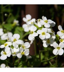 Arábka alpínska biela - Arabis alpina - semená - 200 ks
