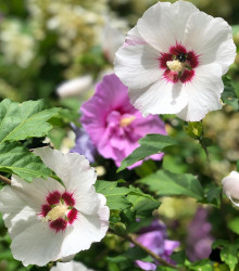 Ibištek sýrsky Rose of Sharon  - zmes - Hibiscus syriacus - semená - 12 ks
