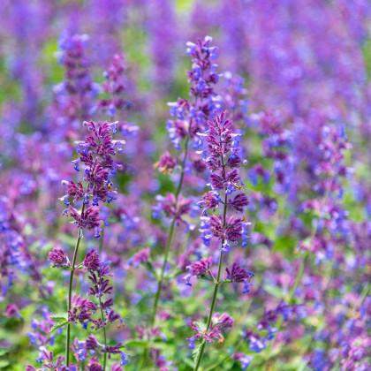 Kocúrnik záhradný - Nepeta faassenii - semená kocúrnika - 15 ks