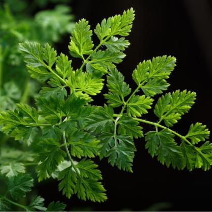 Trebuľka siata Massa -  Anthriscus cerefolium - semená - 0,8 gr