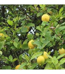 Citrónovník pravý - Citrus limon - semená - 5 ks