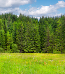 Smrek obyčajný - Picea abies - semená - 8 ks