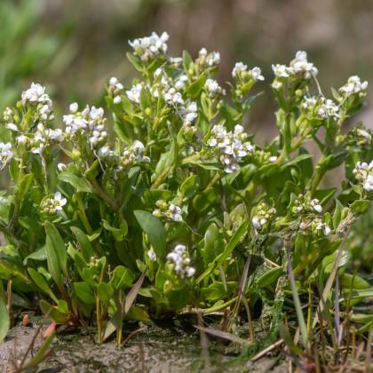 Lyžičník lekársky - Cochleria officinalis - semená lyžičníka - semiačka - 20 ks