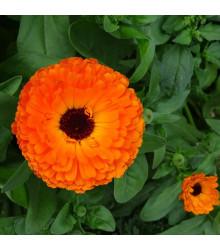 Nechtík lekársky Neon - Calendula officinalis - semená - 40 ks