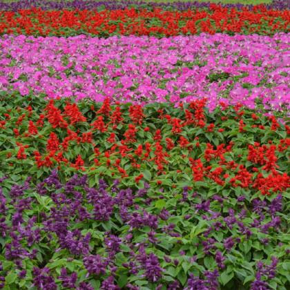 Šalvia žiarivá - zmes - Salvia splendes mix - semená - 15 ks