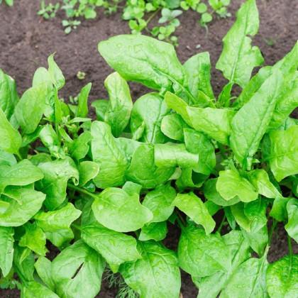 BIO špenát siaty Palco F1 - Spinacia oleracea L. - bio semená špenátu - 70 ks