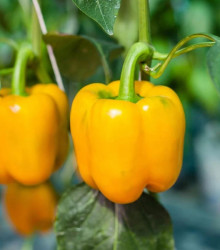 BIO paprika žltá California Wonder - Capsicum annuum - bio semená papriky - 10 ks