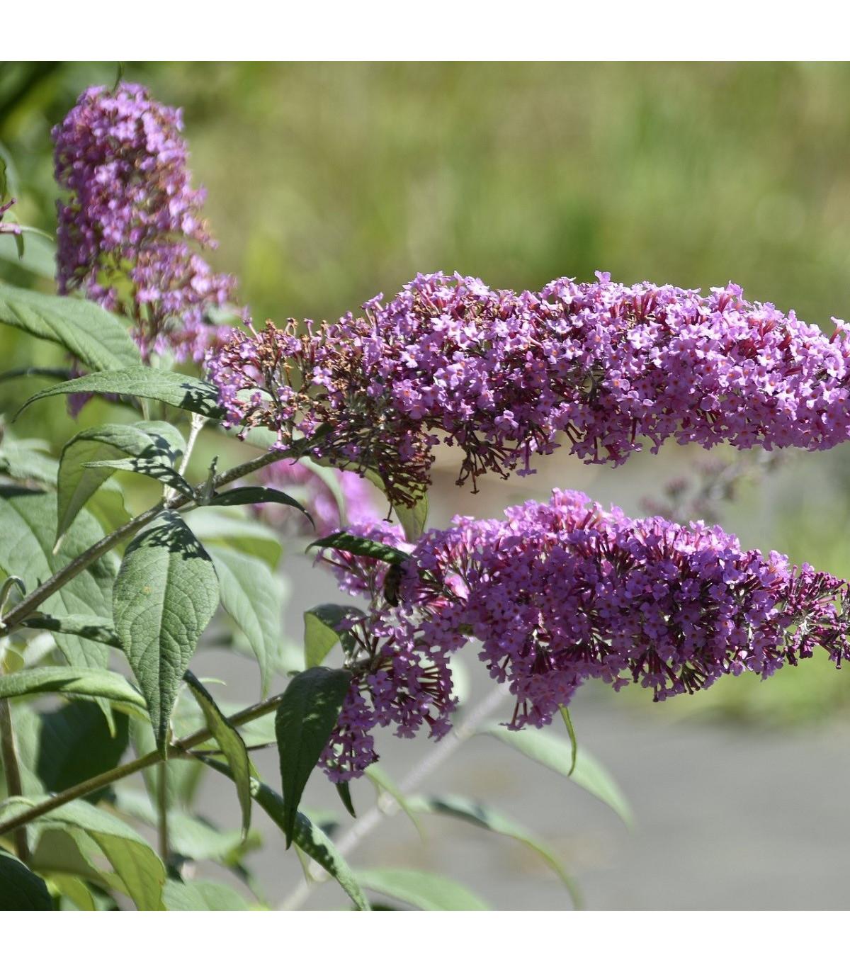 Budleja Dávidova - Buddleja davidi - semená motýlieho kríku - zmes farieb - 20 ks