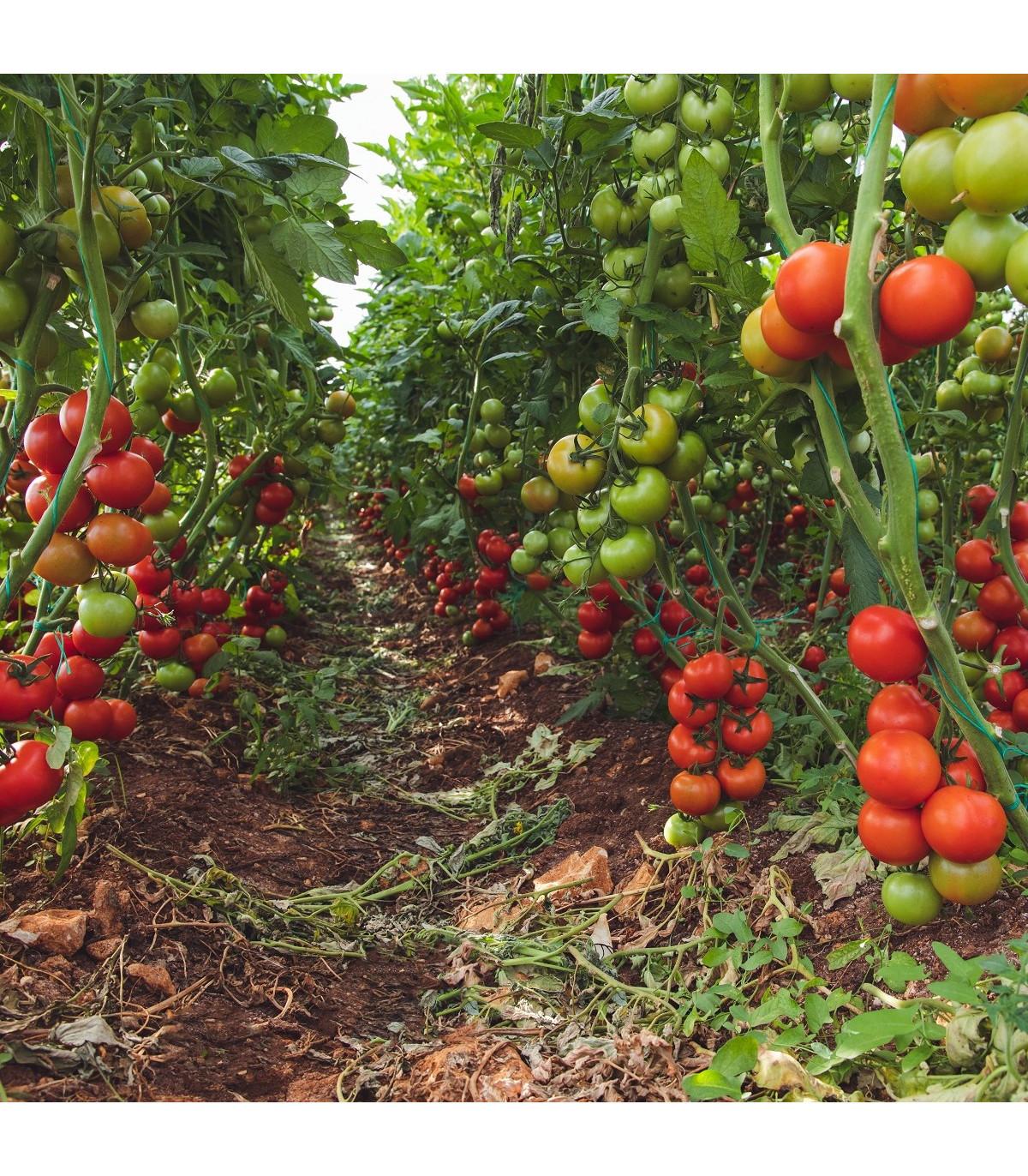 BIO paradajka kolíková Matina - Lycopersicon lycopersicum - rajčiak - bio semená rajčiaka - 15 ks