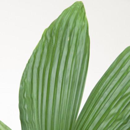 Palma - Carludovica rotundifolia - semená - 3 ks