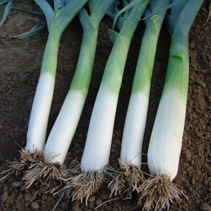 Pór pravý letný Golem - Allium porrum - semená - 200 ks